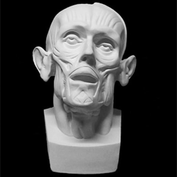 Голова Мюнхенская анатомическая из гипса